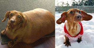 Dennis, a miniature dachshund, lost more than 75% of his body weight