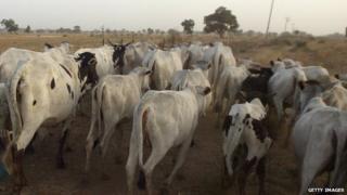 Cattle near Kano, Nigeria. Feb 2006