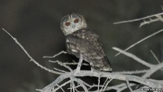The Omani owl