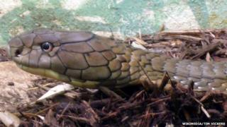 A king cobra photographed in a zoo