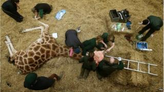 "safari park staff examining 14-year-old Kelly the giraffe""s mouth"