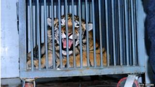 A Siberian tiger cub being transported by rescuers from Qingdao
