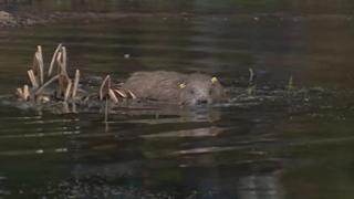 Released beaver