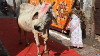 Indian cow
