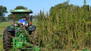 A tractor cutting hemp