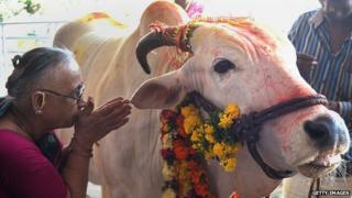 An Indian Hindu devotee offers prayers to a sacred cow