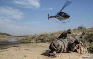 Helicopter hovers over a rhino carcass in the Kruger National Park