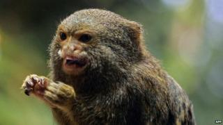 Pygmy marmoset at Skansen zoo