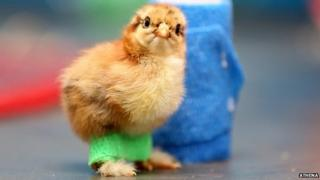 Roley the chick with leg splints