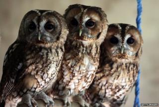 Tawny owls in Taunton