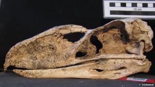 terror bird skull
