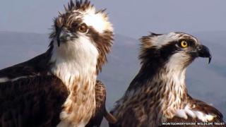 ors Dyfi ospreys