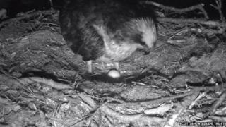 Osprey egg