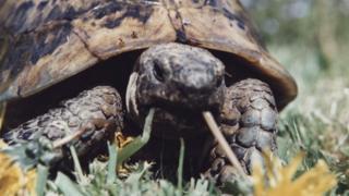 Toby the tortoise