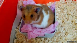 Rescued hamster