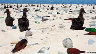 Albatross chicks amid debris (Image: Jon Brack)