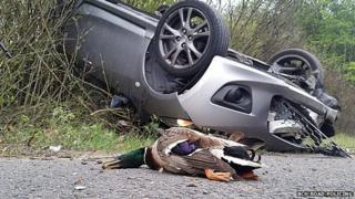 Dead duck and flipped car in A1 crash