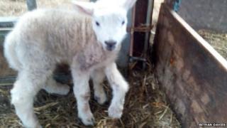 Jake the five-legged lamb