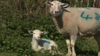 New breed of worm-resistant sheep was created using breeds from the tropics