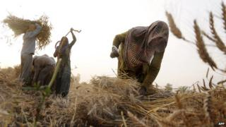 Indian labourers gathering wheat