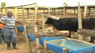 The black dairy cow in its enclosure