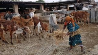 A woman spreads out fodder for rescued cattle, in the western Indian state of Maharashtra