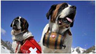 Saint Bernard dogs pose at the Great Saint Bernard mountain pass on June 4, 2009 after their arrival at the monastery for the summer season