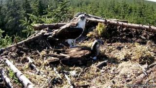 Nesting ospreys
