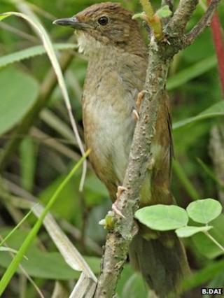 Sichuan bush warbler (Image: Bo Dai)