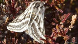 Belted beauty moth