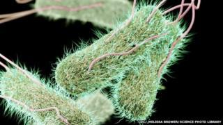 Typhoid bacteria