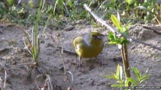 Citril finch at Burnham Overy