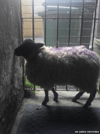 Irish police tweeted a photo of the sheep they found in a Dublin city centre flat complex