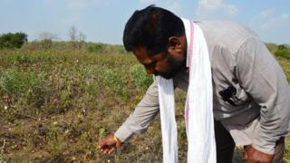 Indian farmer Bhaskar Deovalvar and a ruined cotton crop
