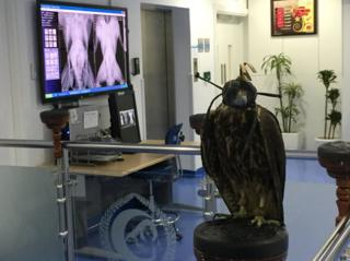 Falcon patient being X-rayed
