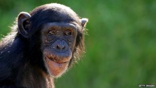 A baby chimpanzee at Taronga Zoo, Sydney