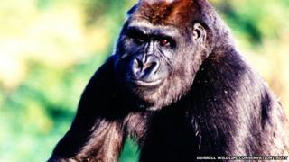 Julia the gorilla at Durrell