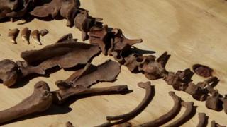 Wolf bones