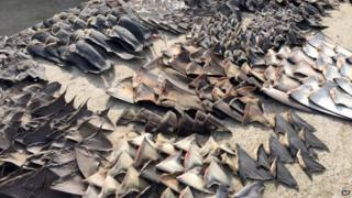 Hundreds of shark fins seized by the police in Manta, Ecuador 27 May 2015