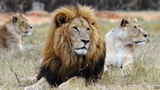 A lion and a lioness rest at Lion Park, near Pretoria, on June 29, 2010.