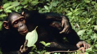 Chimp eating a leaf