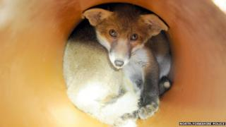 A fox cub