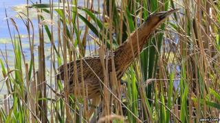 Bittern in the reeds at Attenborough