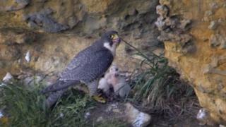 Sutton Bank peregrine falcon and chicks