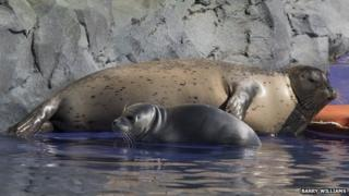 Common seal Tyne and her new pup