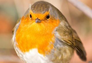 Large robin