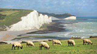 Seven Sisters cliffs and sheep