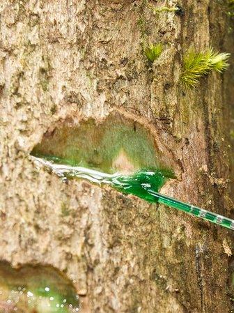 A tree with deep green sap