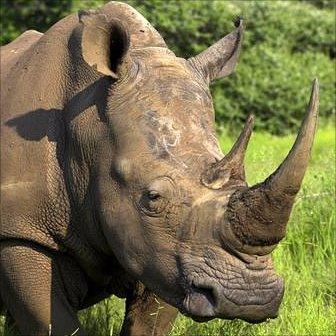 White rhino. Photolibrary.com via BBC Nature