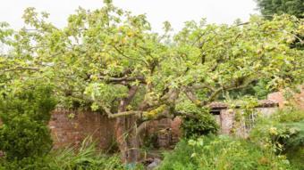 Bid to save original Bramley apple tree